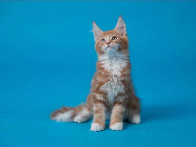 Кошка. Мэйн-кун . Продаю в Нижнем Новгороде