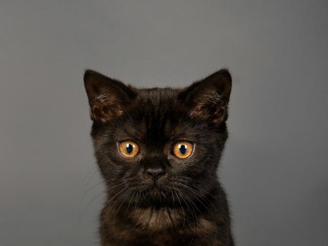 Кошка. Скоттиш-страйт. Продаю в Казани