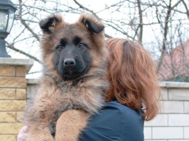 Собака. Немецкая овчарка. Продаю в Краснодаре