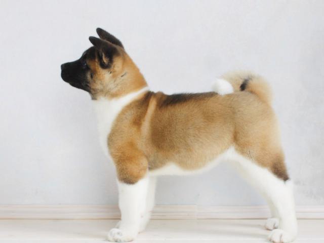 Собака. Американская акита. Продаю в Санкт-Петербурге