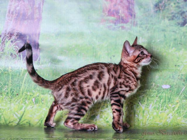 Кошка. Бенгальская короткошерстная. Продаю в Красноярске
