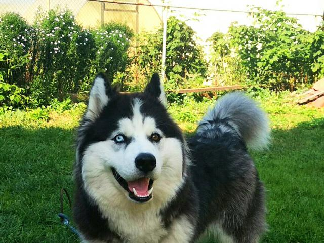 Собака. Сибирский хаски . Возьму в дар в Нижнем Новгороде
