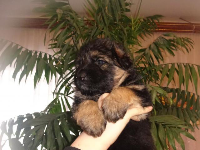 Собака. Немецкая овчарка. Продаю в Рязани