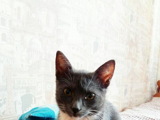 Кошка. Русская голубая. Отдам в дар в Москве