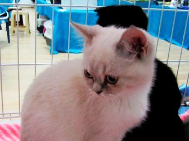 Кошка. Британская короткошерстная. Продаю в Краснодаре