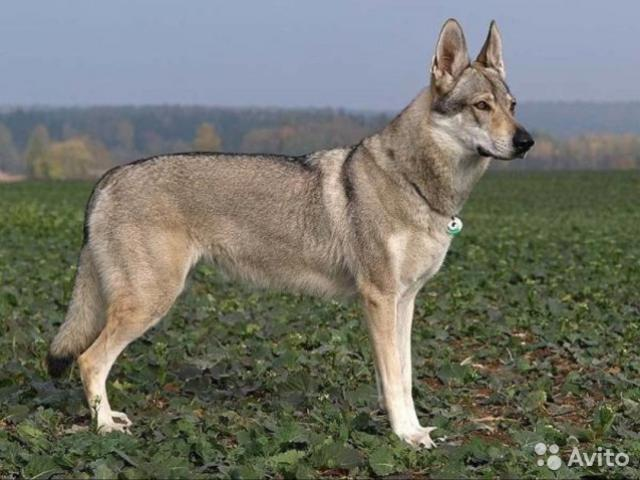 Собака. Чехословацкий влчак. Продаю в Краснодаре
