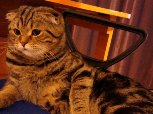 Кошка. Шотландская вислоухая (короткошерстная). Вязка в Уфе