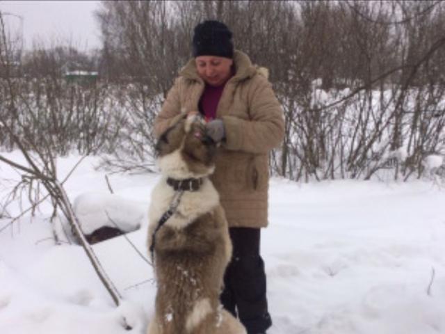 Собака. Среднеазиатская овчарка (Алабай). Отдам в дар в Москве