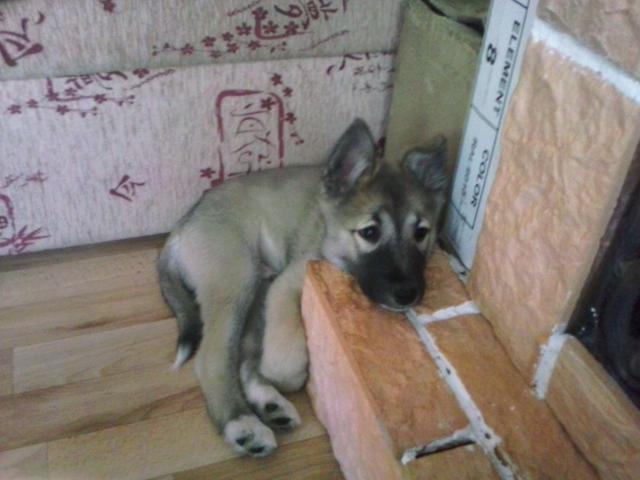 Собака. Западносибирская лайка. Вязка в Кургане