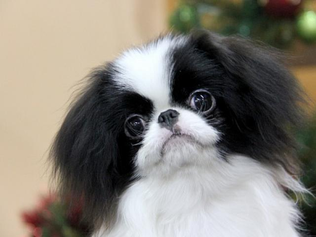 Собака. Японский хин . Продаю в Архангельске