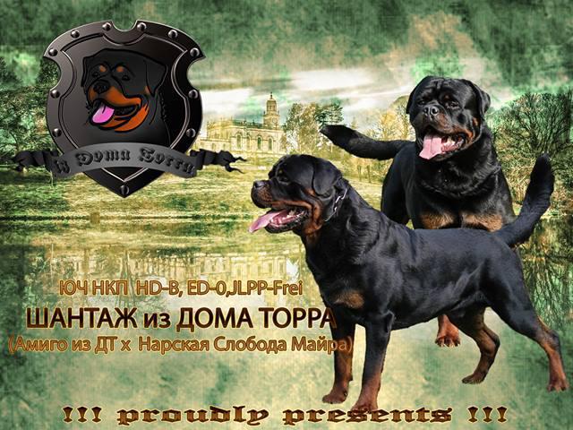Собака. Ротвейлер. Продаю в Москве