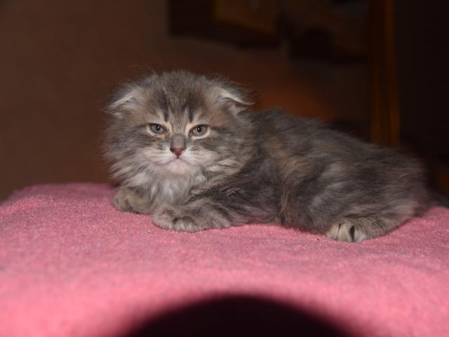 Кошка. Шотландская вислоухая (длинношерстная). Продаю в Москве