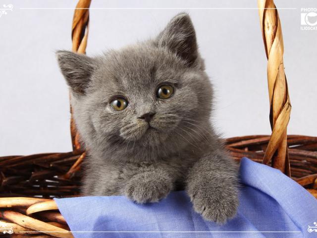 Голубые британские котики!