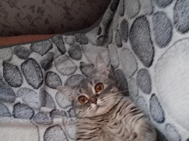 Кошка. Британская короткошерстная. Отдам в дар в Екатеринбурге