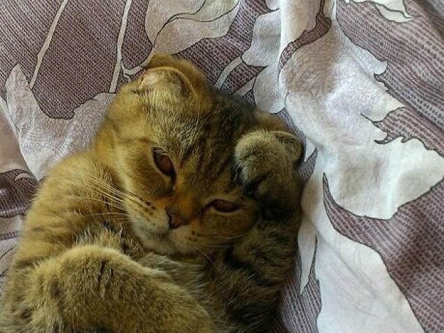 Кошка. Шотландская вислоухая (длинношерстная). Вязка в Казани