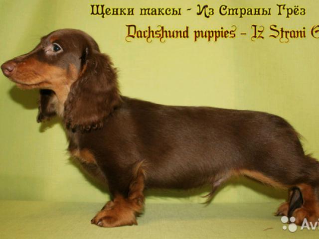 Собака. Такса стандартная. Продаю в Санкт-Петербурге