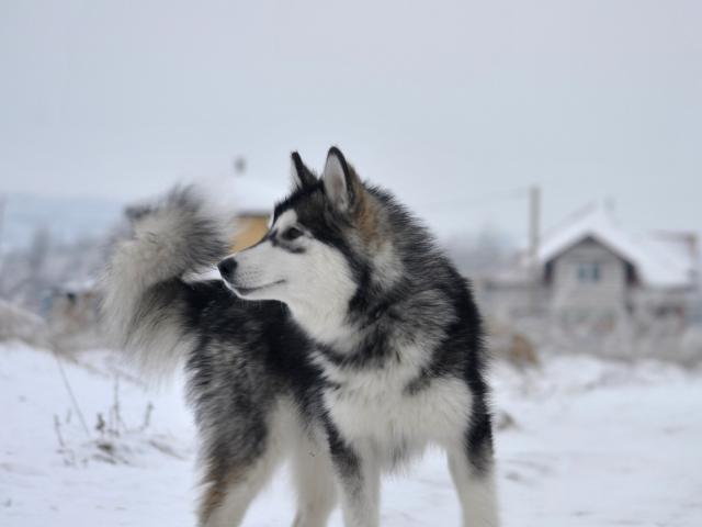 Собака. Аляскинский маламут . Продаю в Санкт-Петербурге