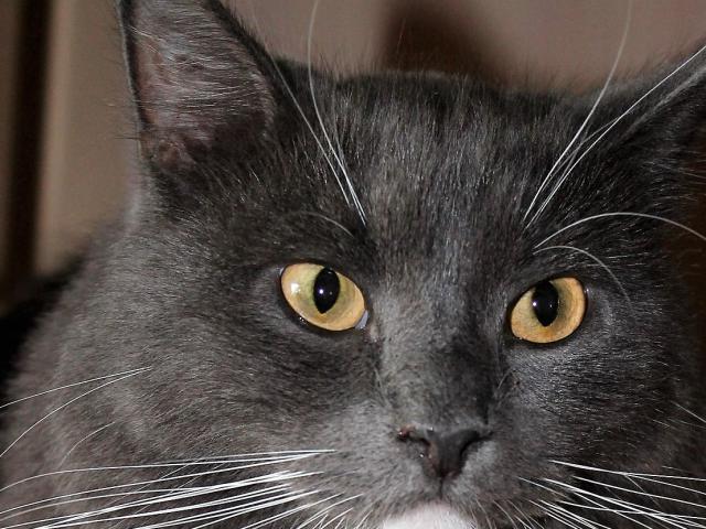 Кошка.  Беспородные и метисы . Отдам в дар в Подольске