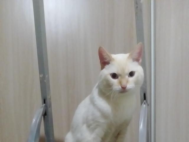 Кошка. Балинезийская (Балийская). Вязка в Красноярске