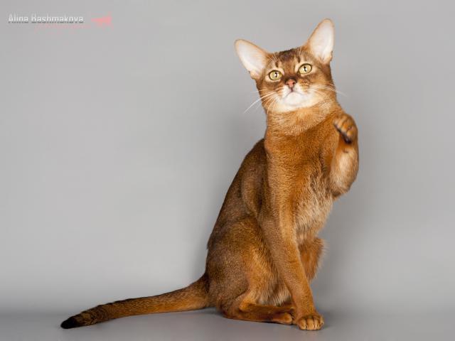Кошка. Абиссинская. Вязка в Москве