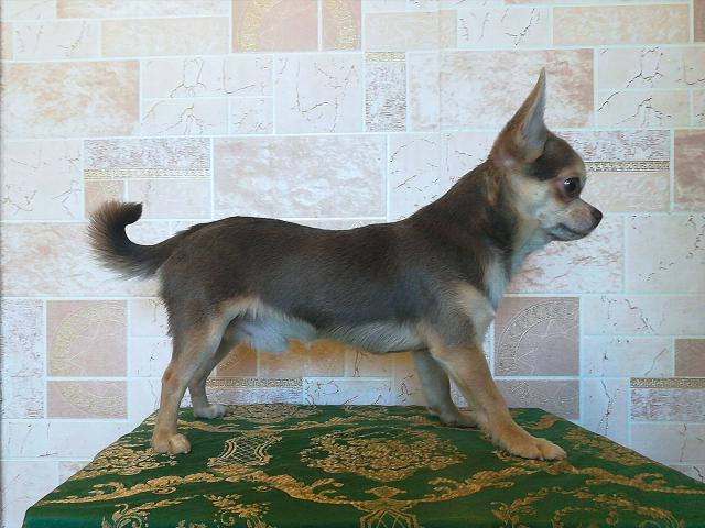 Собака. Чихуахуа . Вязка в Раменском