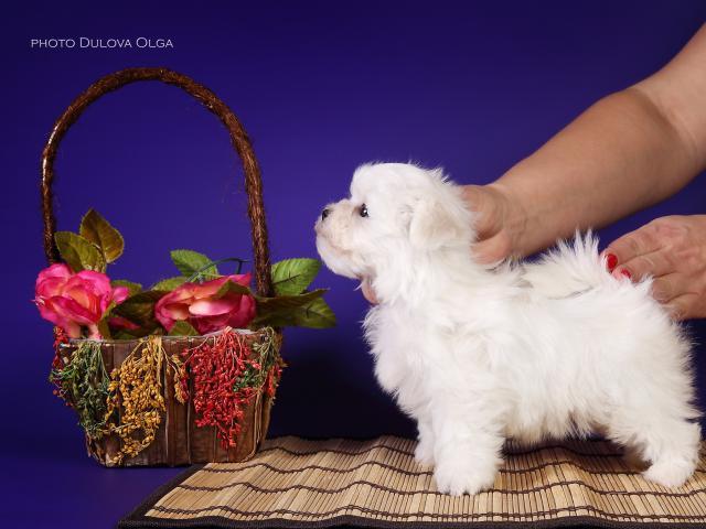 Собака. Мальтезе. Продаю в Екатеринбурге