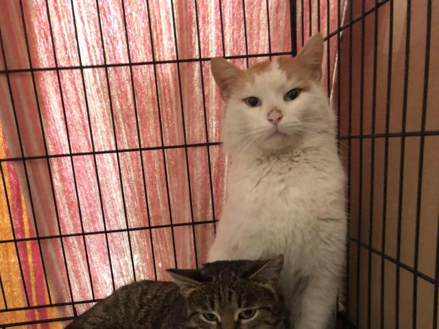 Кошка.  Беспородные и метисы . Отдам в дар в Рязани