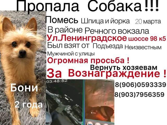Собака. Немецкий шпиц карликовый (померанский). Потеря/Находка в Москве