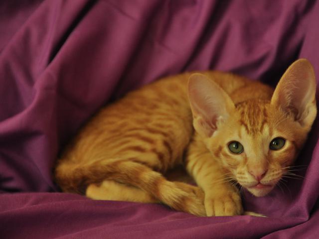 Кошка. Ориентальная (короткошерстная). Продаю в Санкт-Петербурге
