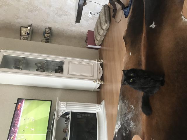 Кошка. Британская длинношерстная. Вязка в Иркутске