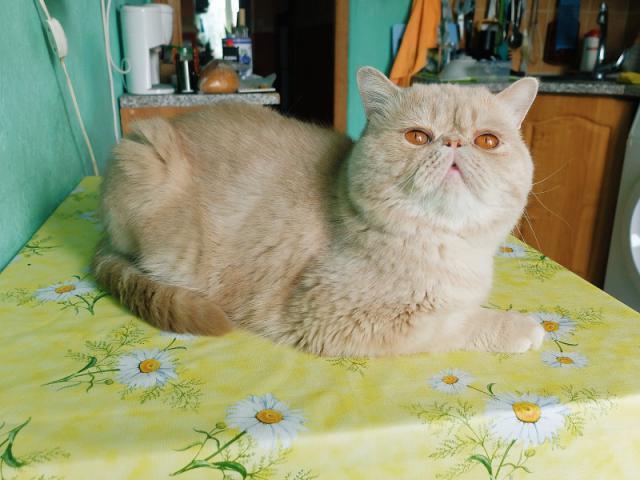 Кошка. Экзотическая (короткошерстная). Вязка в Москве