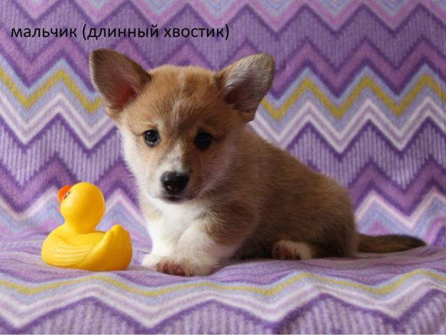 Собака. Вельш Корги Пемброк. Продаю в Санкт-Петербурге