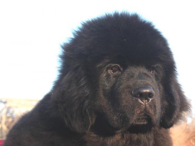 Собака. Ньюфаундленд. Продаю в Санкт-Петербурге
