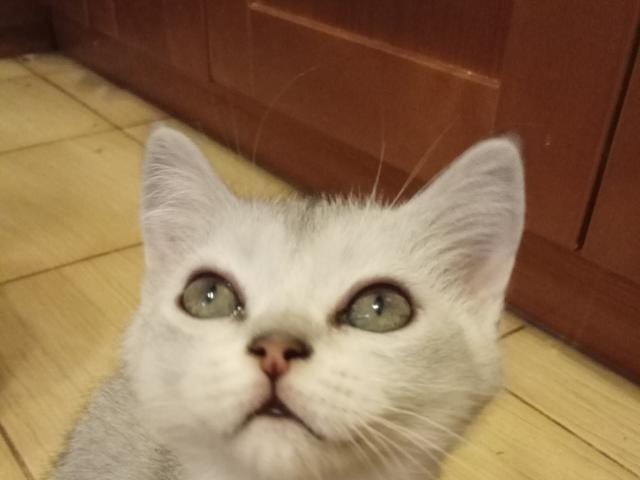Кошка. Скоттиш-страйт. Продаю в Москве
