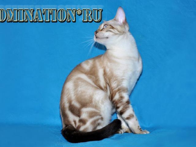 Кошка. Бенгальская короткошерстная. Продаю в Санкт-Петербурге