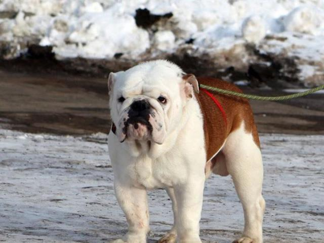 Собака. Английский бульдог. Отдам в дар в Москве