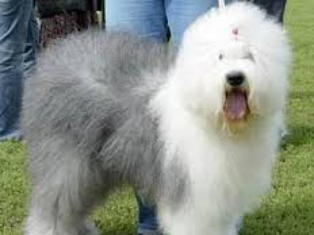 Собака. Бобтейл (староанглийская овчарка). Продаю в Гомеле