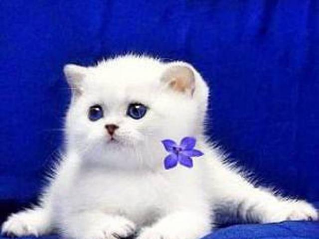 Британские белоснежные синеглазки котята шиншиллы