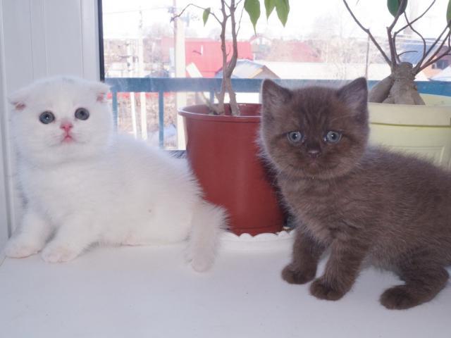 Кошка. Британская короткошерстная. Продаю в Балаково