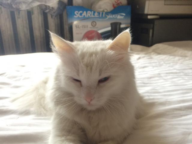 Кошка. Турецкая ангора. Отдам в дар в Москве