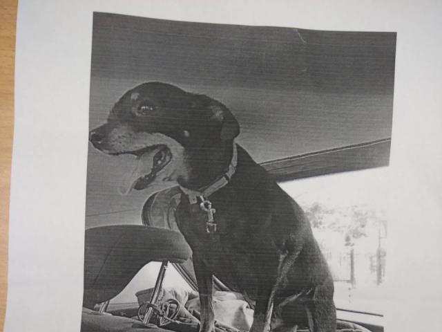 Собака. Русский той терьер. Потеря/Находка в Тюмени