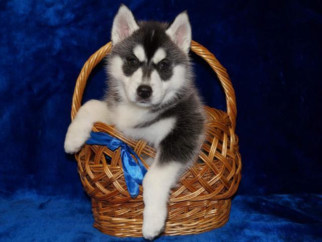 Собака. Сибирский хаски . Продаю в Лысково