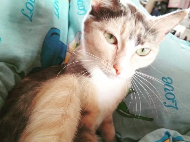 Кошка. Азиатская. Возьму в дар в Екатеринбурге