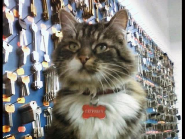 Кошка.  Беспородные и метисы . Потеря/Находка в Санкт-Петербурге