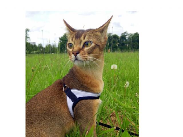 Кошка. Абиссинская. Потеря/Находка в Санкт-Петербурге