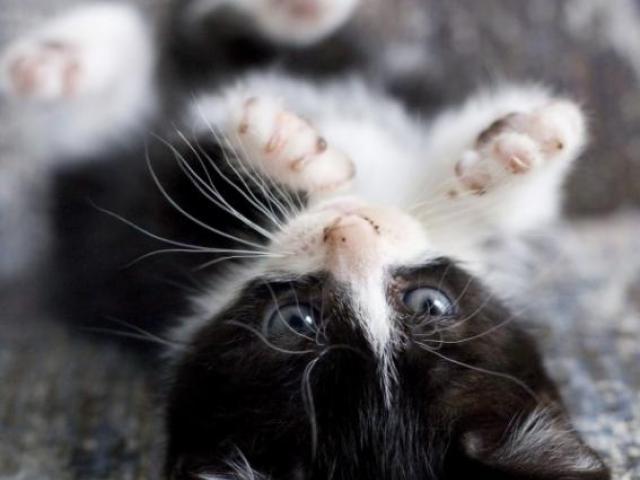 Кошка. Европейская короткошерстная. Отдам в дар в Ставрополе