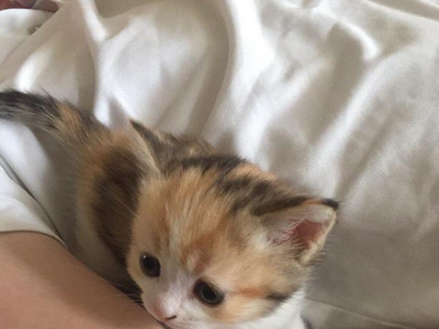 Кошка. Британская короткошерстная. Отдам в дар в Твери