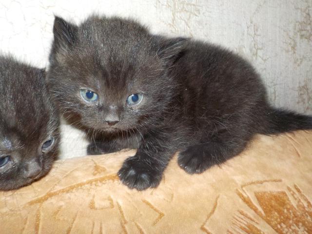 Кошка. Британская короткошерстная. Продаю в Самаре