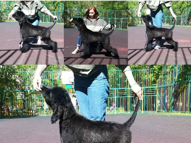 Собака. Афганская борзая. Продаю в Москве