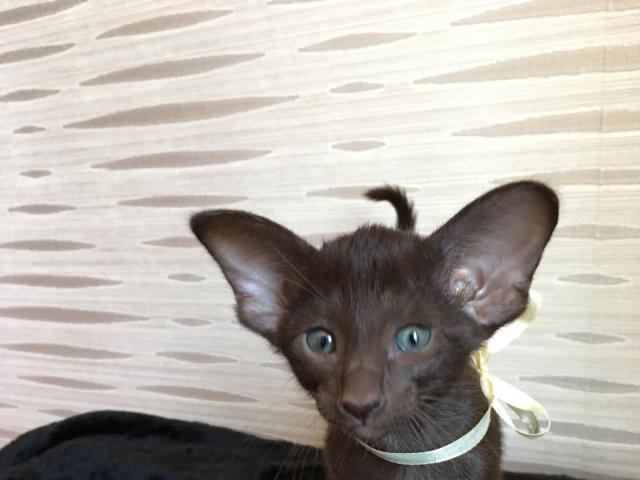 Кошка. Ориентальная (короткошерстная). Продаю в Ростове-на-Дону